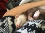 Ferret of our rescue